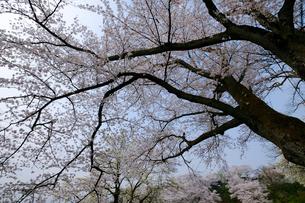 桜の木々の写真素材 [FYI01588337]