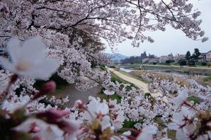 賀茂川の桜の写真素材 [FYI01588477]