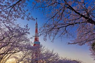 夕暮れの東京タワーと桜の写真素材 [FYI01588842]