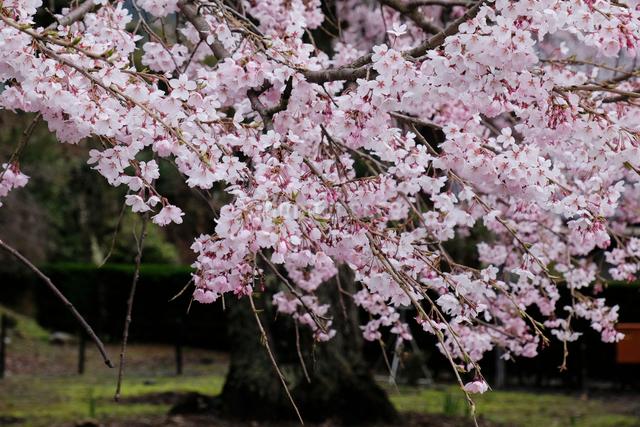妙祐寺のしだれ桜の写真素材 [FYI01588858]