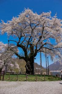 荘川桜の写真素材 [FYI01588859]