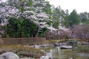 嚮陽庭園の桜の写真素材 [FYI01589001]