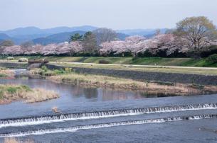 賀茂川の桜の写真素材 [FYI01589235]