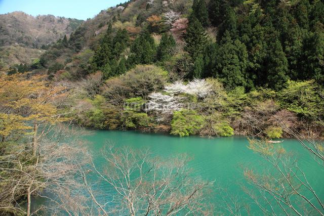 愛知川渓谷(永源寺ダム上流)新緑の写真素材 [FYI01589357]