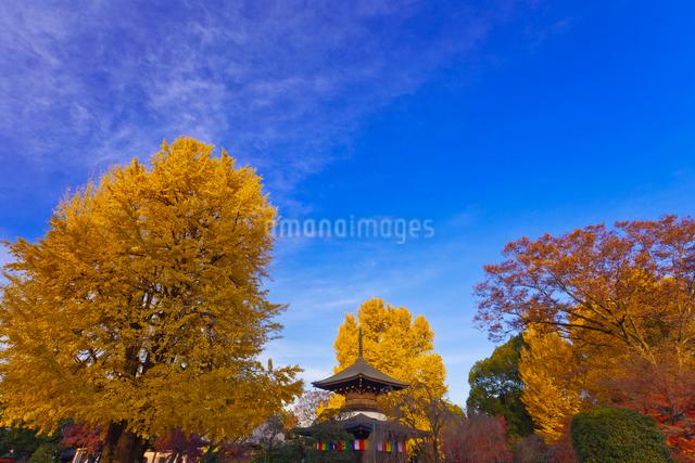鑁阿寺(ばんなじ)の多宝塔と大銀杏の黄葉の写真素材 [FYI01589912]