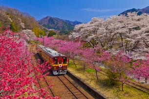 わたらせ渓谷鐵道神戸駅に咲く桜と花桃とトロッコ列車の写真素材 [FYI01589915]