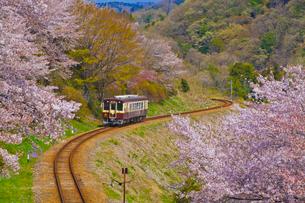 わたらせ渓谷鐵道の列車と桜の写真素材 [FYI01589944]