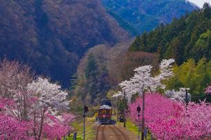 わたらせ渓谷鐵道神戸駅に咲く桜と花桃とトロッコ列車の写真素材 [FYI01590148]