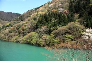 愛知川渓谷(永源寺ダム上流)新緑の写真素材 [FYI01590365]