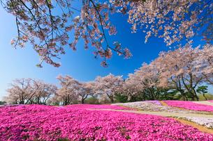 ザ・トレジャーガーデンに咲く芝桜と桜の写真素材 [FYI01590413]
