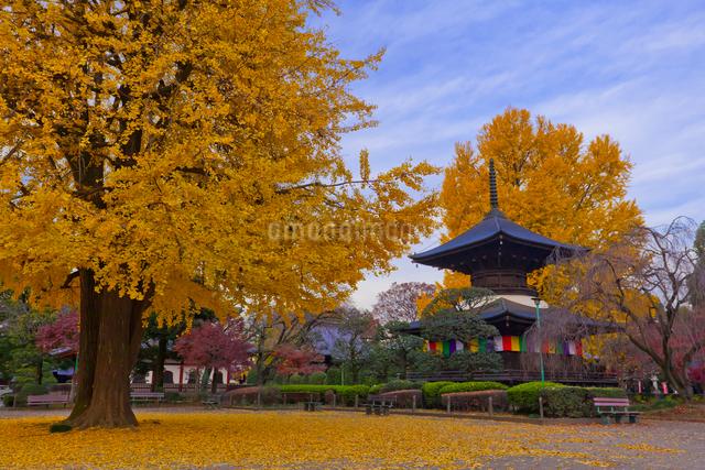 鑁阿寺(ばんなじ)の多宝塔と大銀杏の黄葉の写真素材 [FYI01590429]