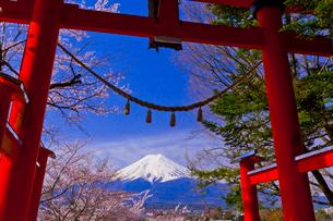 新倉山浅間神社の鳥居と富士山と桜の写真素材 [FYI01590430]
