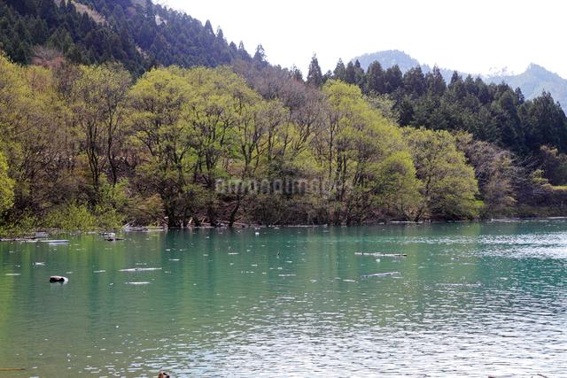永源寺ダム新緑の木々の写真素材 [FYI01590454]