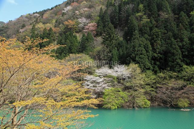 愛知川渓谷(永源寺ダム上流)新緑の写真素材 [FYI01590470]