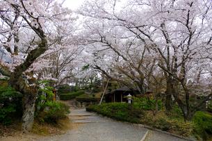 西山公園の桜の写真素材 [FYI01590640]