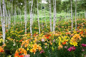 白樺林とゆりの花畑の写真素材 [FYI01590958]