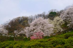 西山公園の桜の写真素材 [FYI01590980]