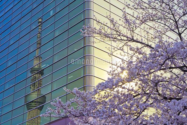 ビルに映る東京スカイツリーと桜の写真素材 [FYI01591018]
