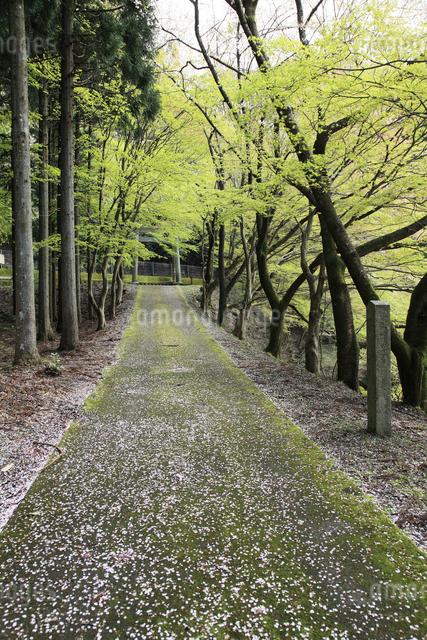 大瀧神社,参道の落ち桜の写真素材 [FYI01591078]