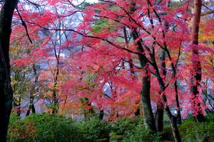 紅葉の木々の写真素材 [FYI01591134]