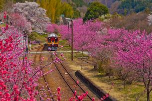 わたらせ渓谷鐵道神戸駅に咲く桜と花桃とトロッコ列車の写真素材 [FYI01591239]