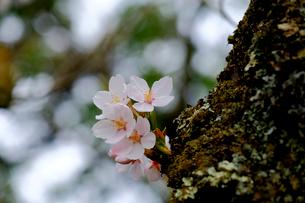 桜の小枝の写真素材 [FYI01591420]