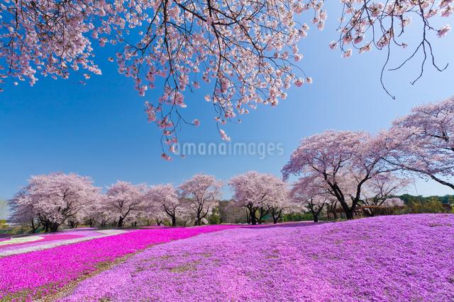 ザ・トレジャーガーデンに咲く芝桜と桜の写真素材 [FYI01591624]