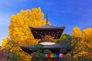鑁阿寺(ばんなじ)の多宝塔と大銀杏の黄葉の写真素材 [FYI01591804]