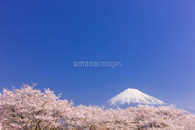 桜と富士山の写真素材 [FYI01592182]