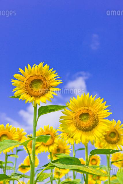 ひまわり畑と青空の写真素材 [FYI01592406]
