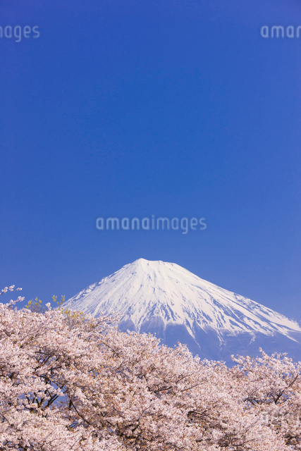 桜と富士山の写真素材 [FYI01592431]