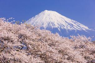 桜と富士山の写真素材 [FYI01592487]
