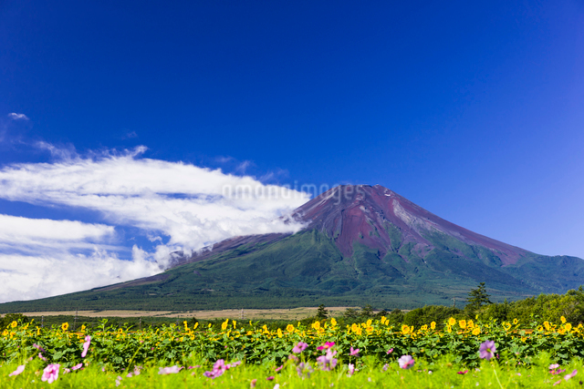夏の富士山の写真素材 [FYI01592753]
