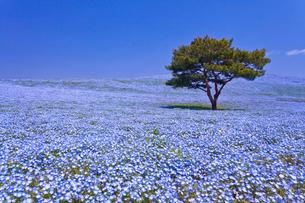 国営ひたち海浜公園のネモフィラの咲く丘の写真素材 [FYI01592893]