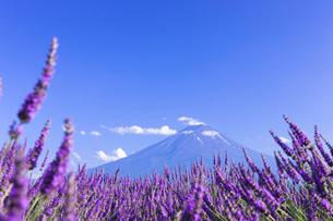 夏の富士山とラベンダーの写真素材 [FYI01593126]