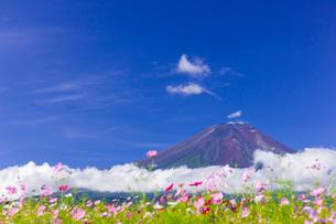 コスモスと富士山の写真素材 [FYI01593149]