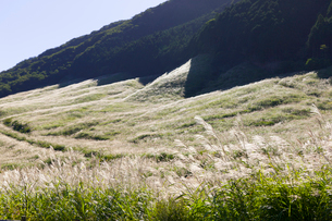 箱根の仙石原ススキ草原の写真素材 [FYI01593274]