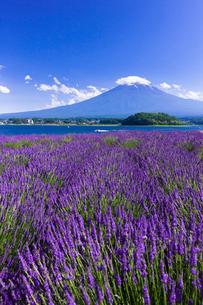 夏の富士山とラベンダーの咲く大石公園の写真素材 [FYI01593361]