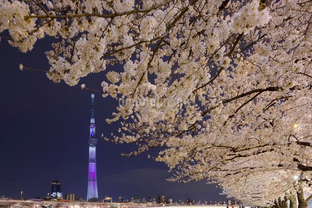 桜と東京スカイツリーのライトアップの写真素材 [FYI01593363]