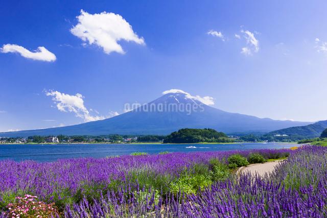 夏の富士山とラベンダーの咲く大石公園の写真素材 [FYI01593406]
