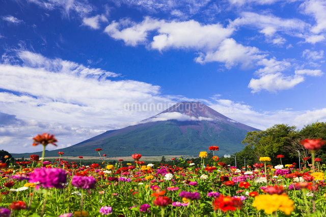 夏の富士山と花畑の写真素材 [FYI01593441]