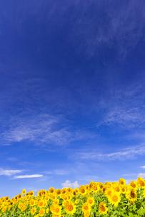 ヒマワリ畑の写真素材 [FYI01593462]