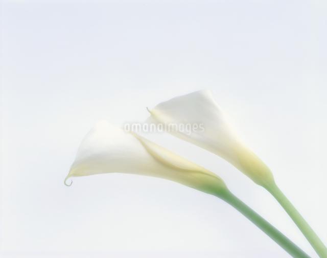 カラーの写真素材 [FYI01593683]