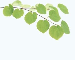 かつらの枝と葉の写真素材 [FYI01593833]