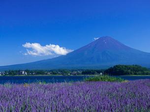 夏の富士山とラベンダーの写真素材 [FYI01594022]