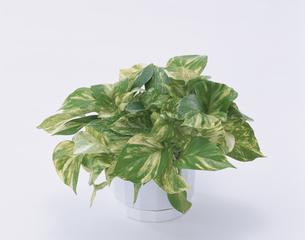 観葉植物(ポトス)の写真素材 [FYI01594024]