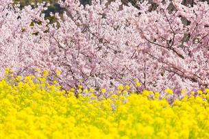 菜の花と桜の写真素材 [FYI01594102]