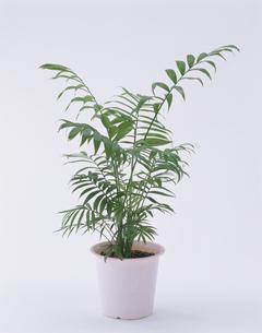 観葉植物(テーブルヤシ)の写真素材 [FYI01594108]