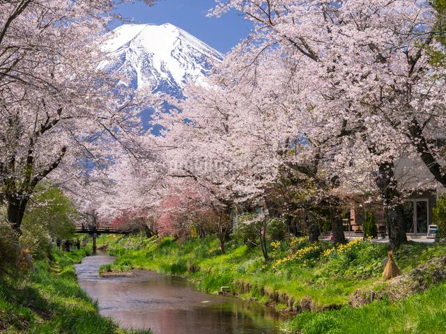 富士山と桜と小川の写真素材 [FYI01594293]