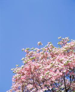 青空と花水木の写真素材 [FYI01594989]
